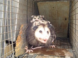 opossum-mother-babies